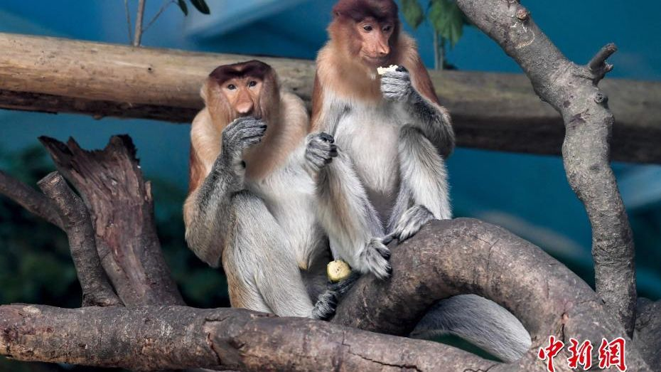 A wildlife park in southern China has brought in six long-nosed monkeys from Indonesia.
