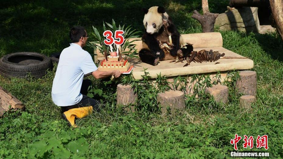 Oldest captive panda Xin Xing celebrates 35th birthday