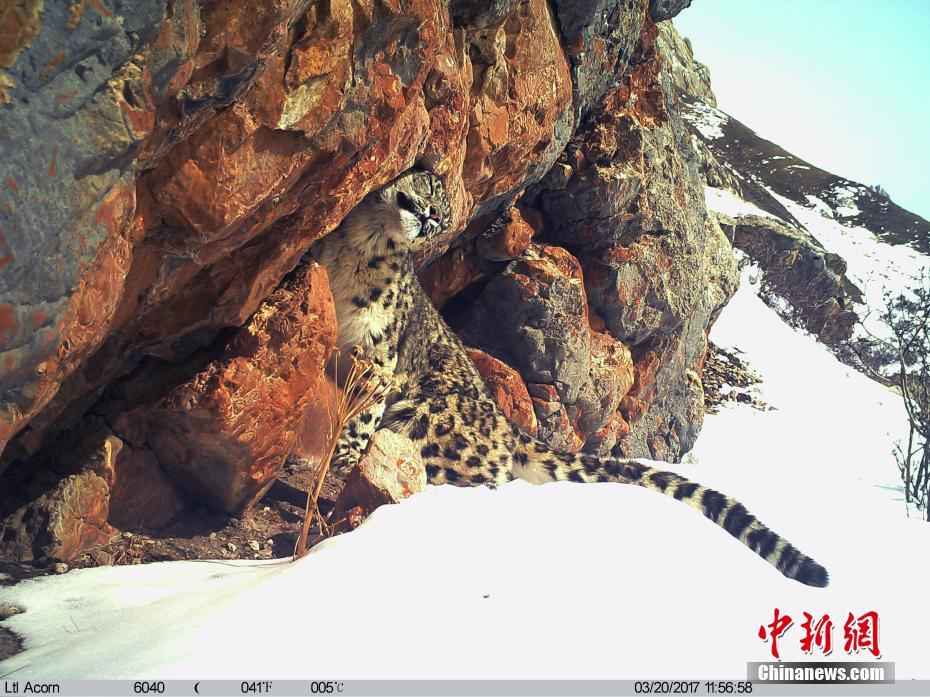 A Snow Leopard was captured by research cameras in the Three-River Source region in China's Qinghai Province.