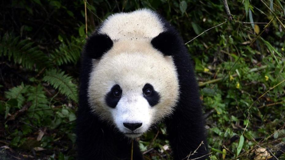 giant pandas the possible end to We've got all that covered and more with our guide on visiting pandas in china  the 20 giant pandas are  best time to visit the pandas it's possible to.