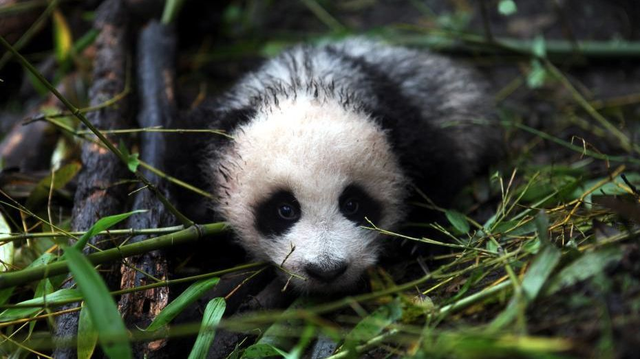 Ba Xi, a giant panda born in July 2015, will be released into the wild in southwest China at the end of this month.