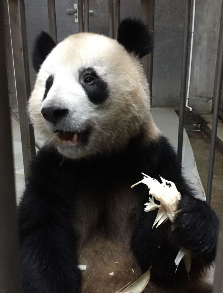 Zoo successfully feeds thawed bamboo shoots to picky pandas