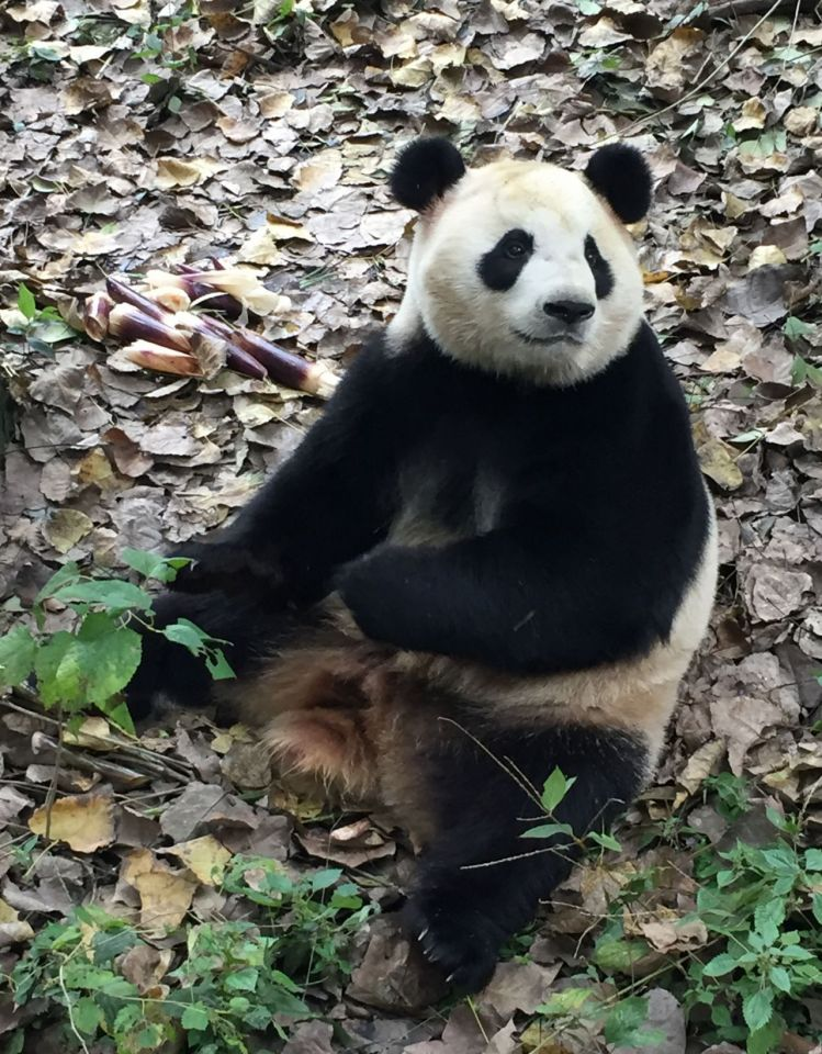 If female panda Mao Sun gets pregnant during her stay in Copenhagen, she will need a lot of bamboo shoots.
