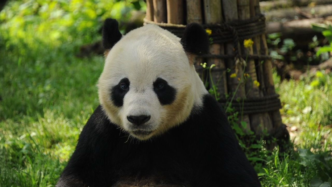 Giant panda Peng Peng, who was born in 1999, has died at the age of 18 at the Dujiangyan panda base in southwest China.