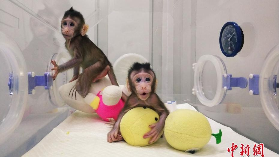 Chinese scientists have successfully cloned two macaques, named Zhong Zhong and Hua Hua, from adult somatic cells.