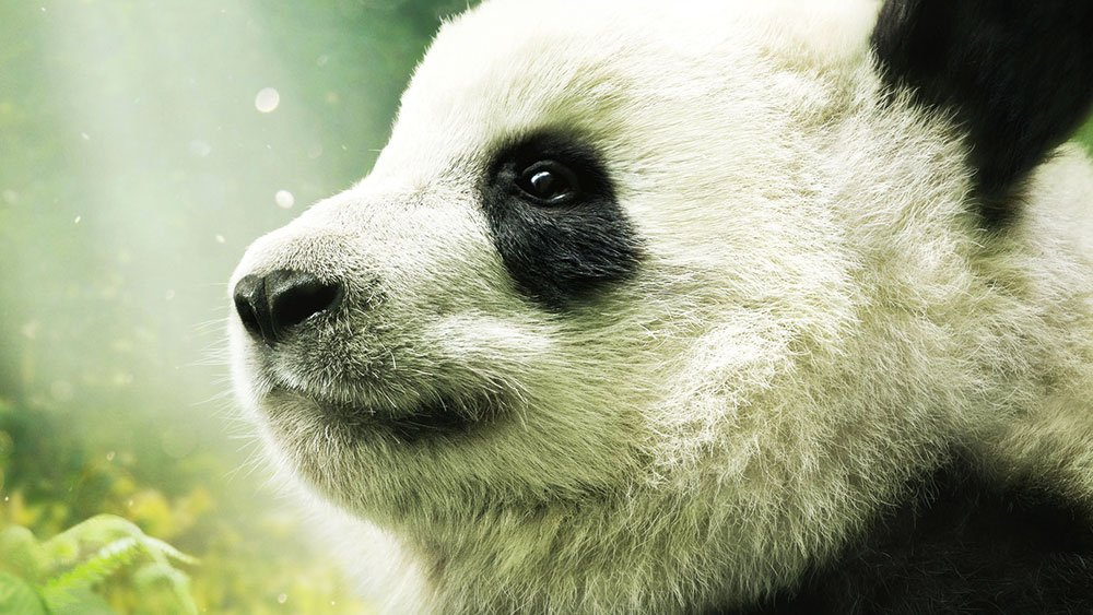 Giant panda IMAX documentary gets US release date