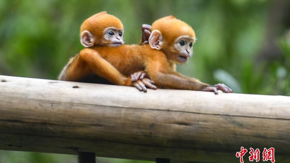 World's first pair of Francois' leaf monkey twins.