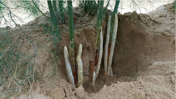 china fujian province white green asparagus stalks digging sand soil