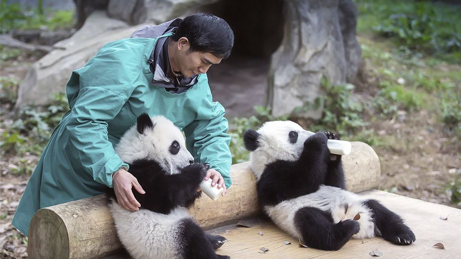 China sets up national lab to help protect giant pandas
