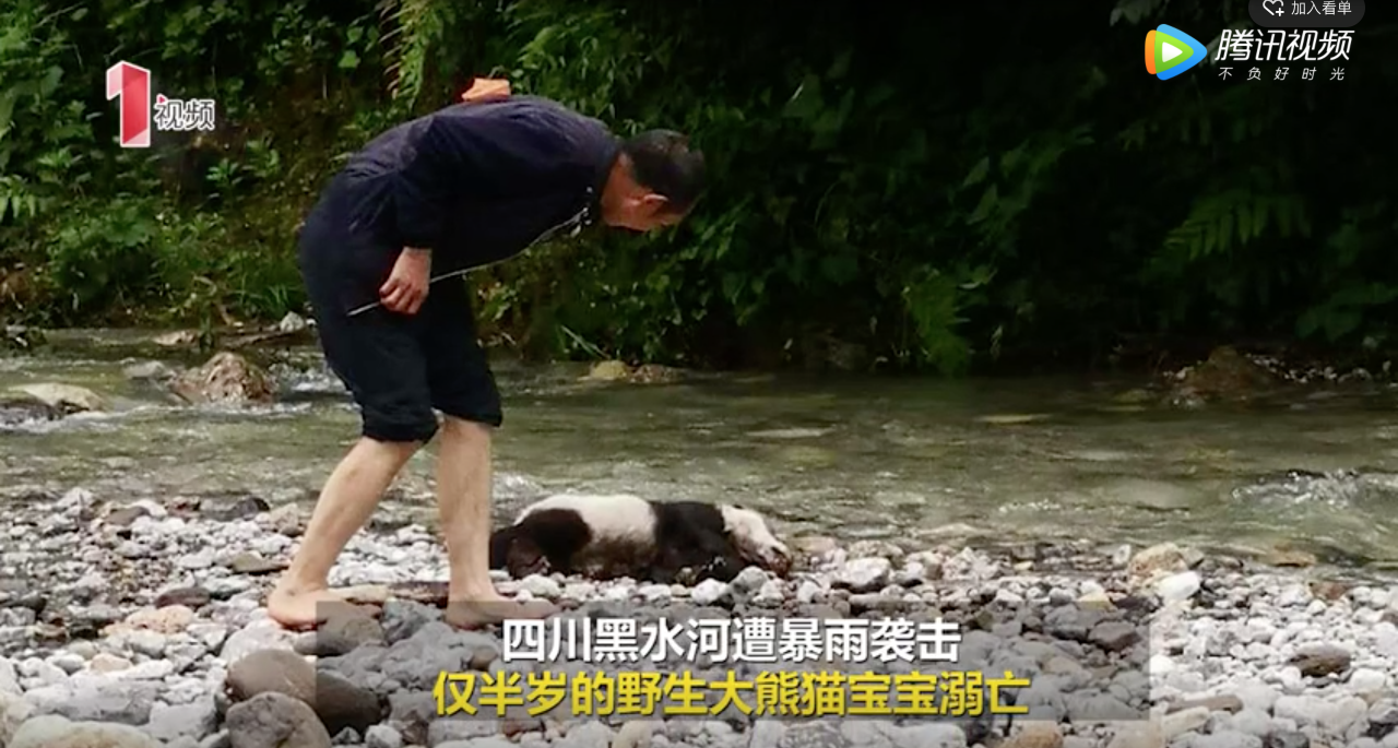 Wild giant panda cub body found in southwest China