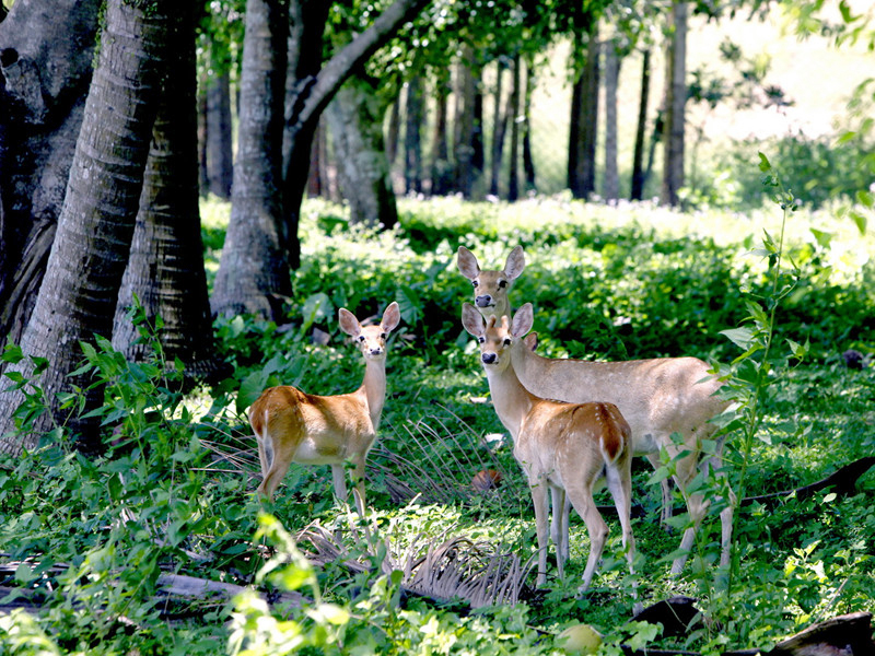 Signs of global warming can be seen in the retreating beaches and decreasing number of plants and animals. Pictured: The endangered Eld's deer species is only found on the island.