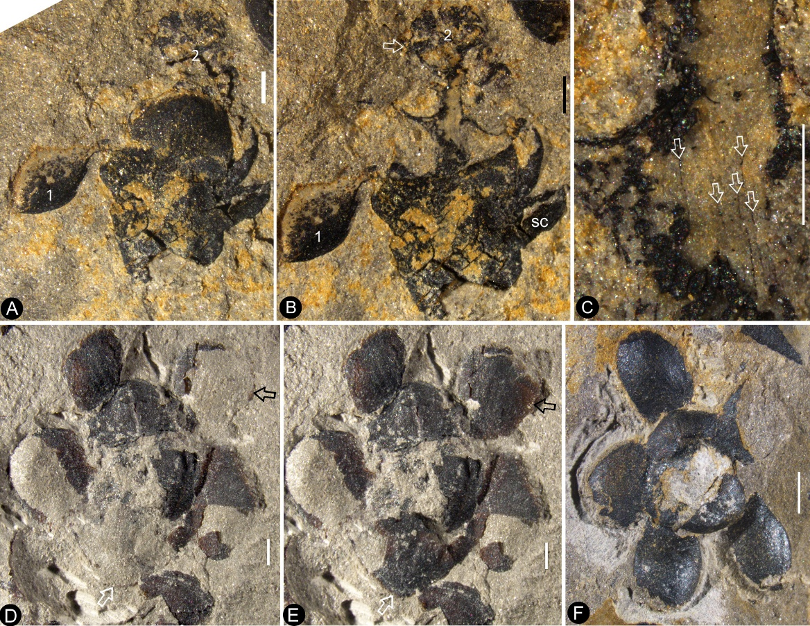 World's earliest fossilised flower excavated in east China.