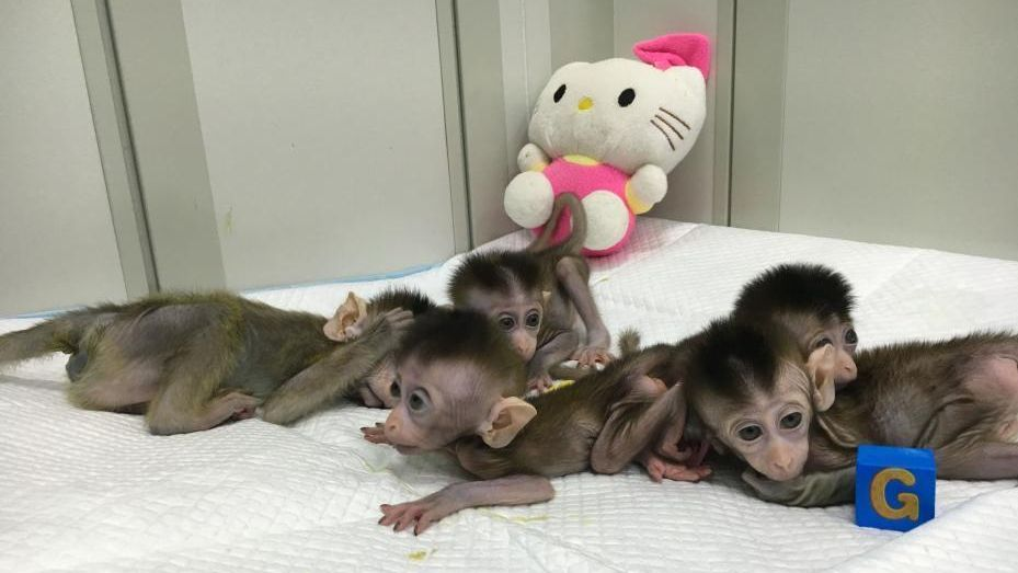 China clones gene-edited monkeys.