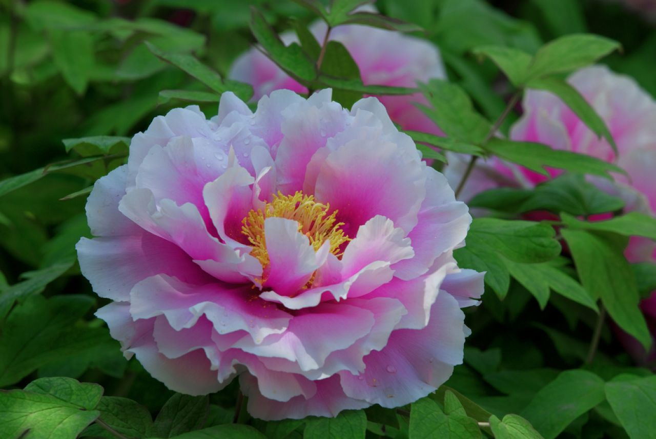 Peony is both the city flower of Luoyang and China's national flower.