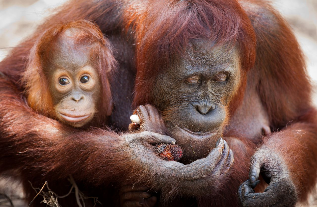 How palm oil is pushing orangutans to extinction