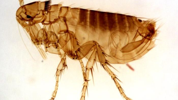 Fleas can be vectors of plague and murine typhus.