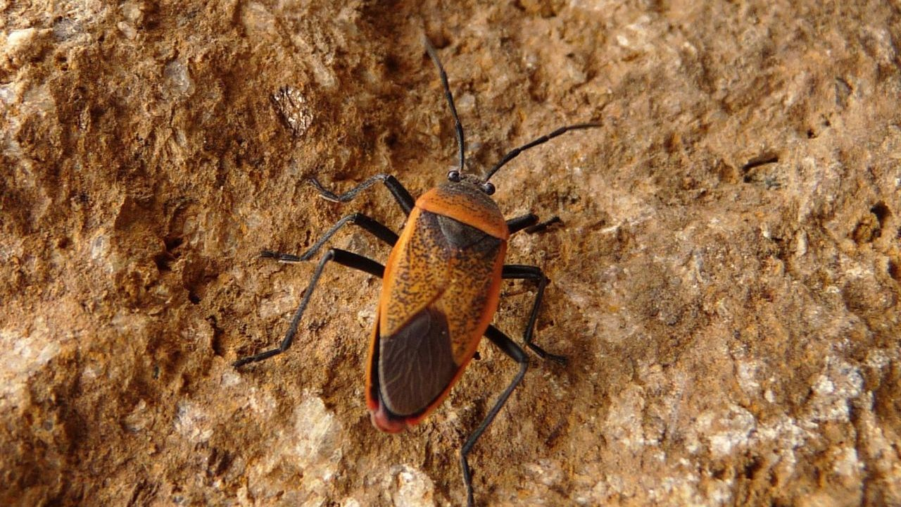 The Triatomine bug, also known as kissing bug, is the main vector for Chagas disease.
