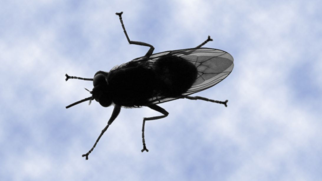 The large tsetse flies can be found in mid-continental Africa. Through their bite they can transmit a parasite causing African trypanosomiasis, also called sleeping sickness.