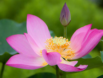 Beijings Yuanmingyuan Offers Visitors A Feast Of Lotuses Gbtimes