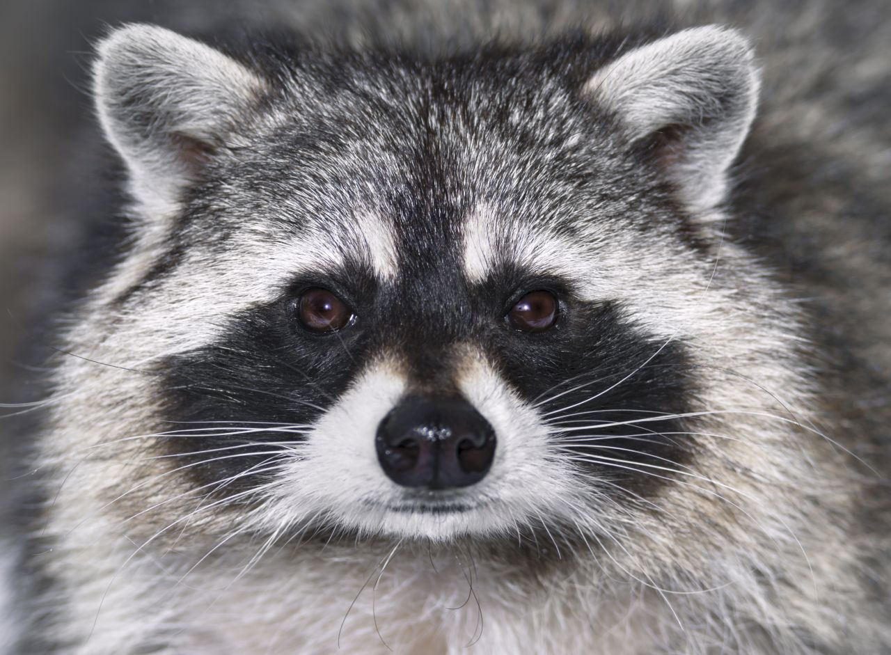 Raccoons in the movies | gbtimes.com Raccoon Face