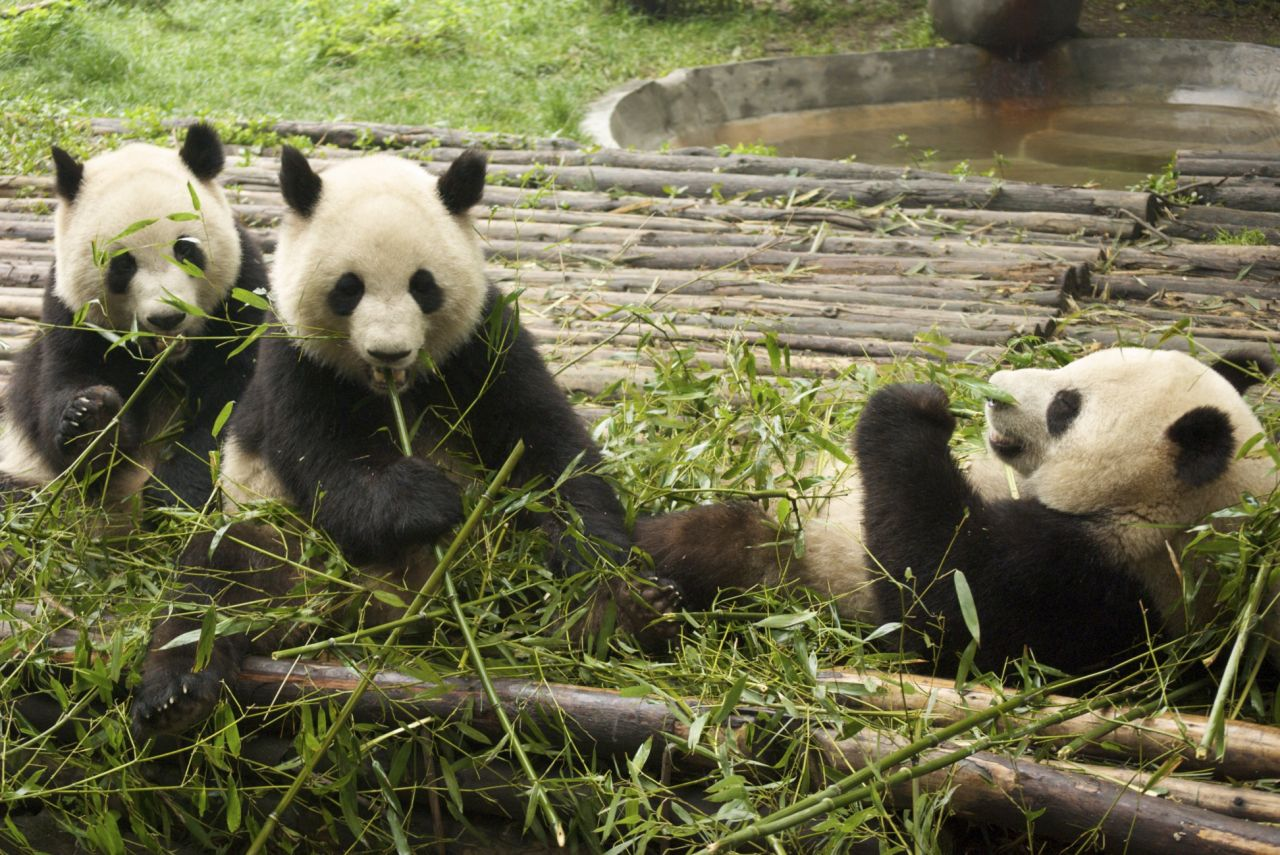 The Chengdu Research Base of Giant Panda Breeding.