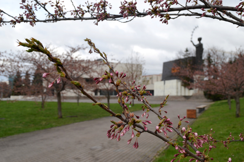 Sakuras about to bloom in the park, named after famous Japanese diplomat in Lithuania - Chiune Sugihara.