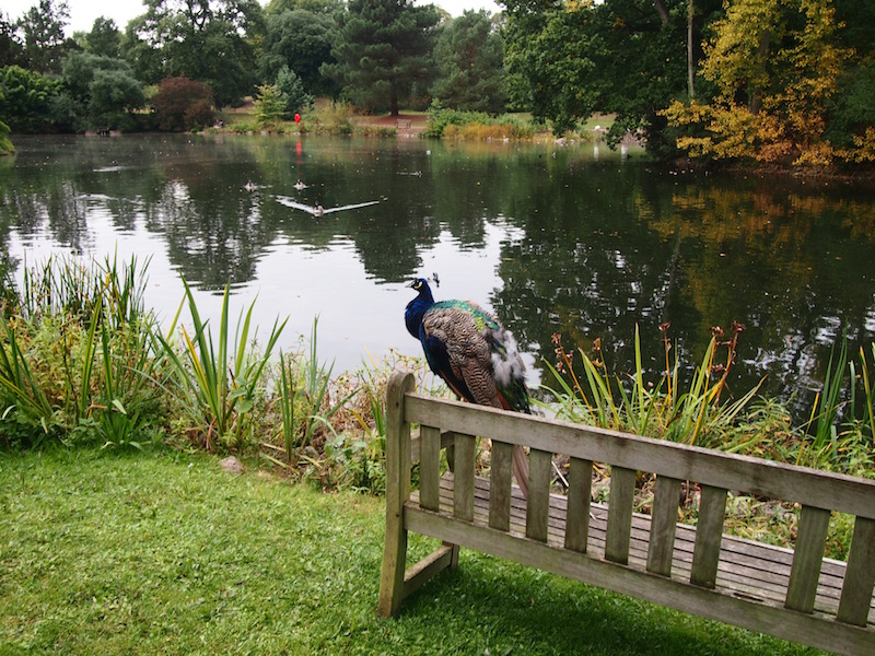 A peacock lazily rests on a bench in the Royal Botanic Gardens, Kew