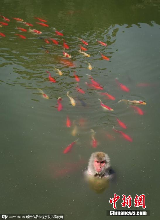 Monkey jumps into fish pond to cool off at hefei zoo for Cool fish ponds