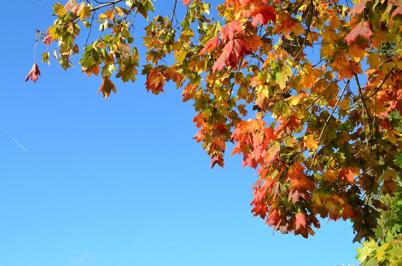 Maples everywhere burst with colour this time of year