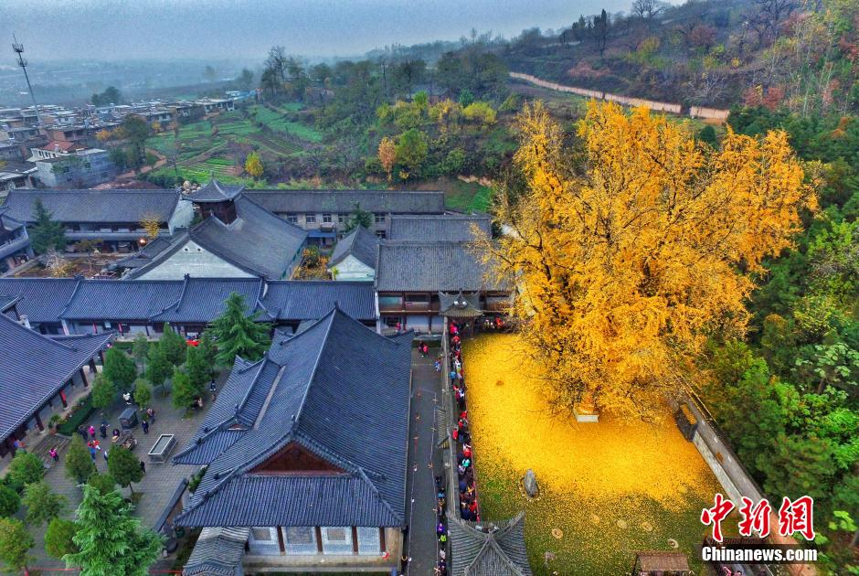 Stunning images of 1,400-year-old tree with golden leaves go viral