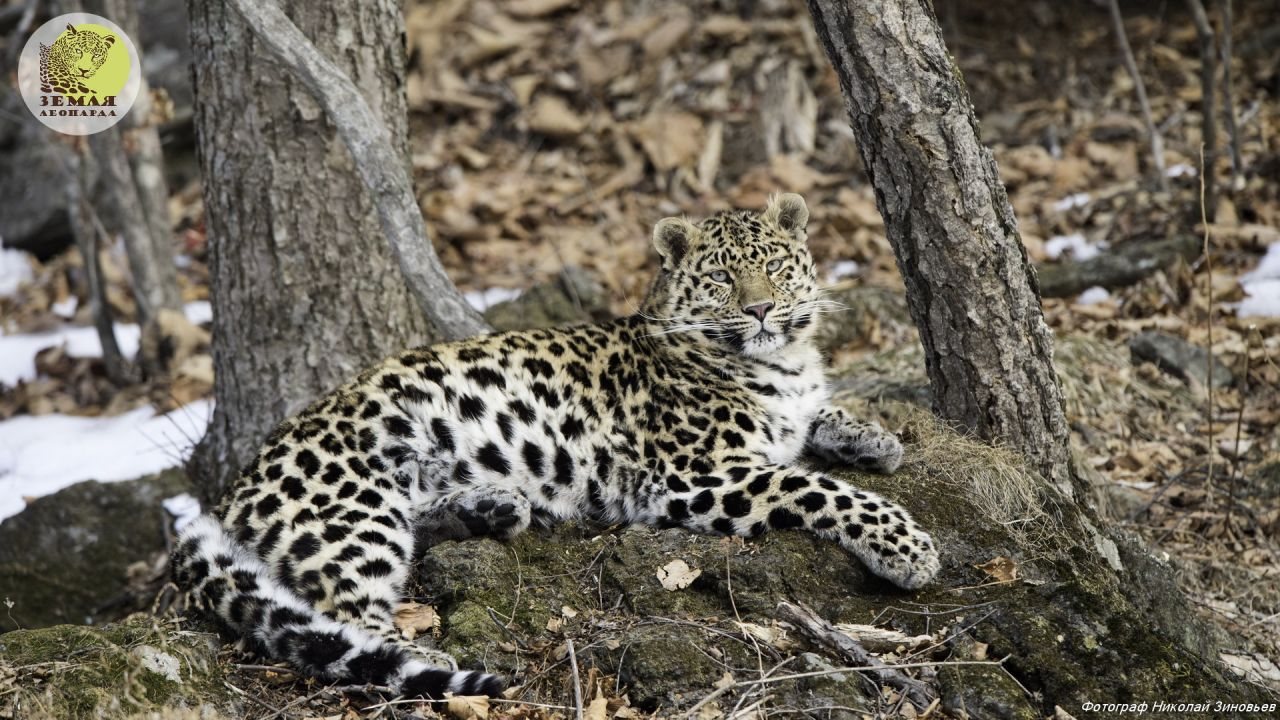 China to set up Amur leopard sanctuary with Russian expertise