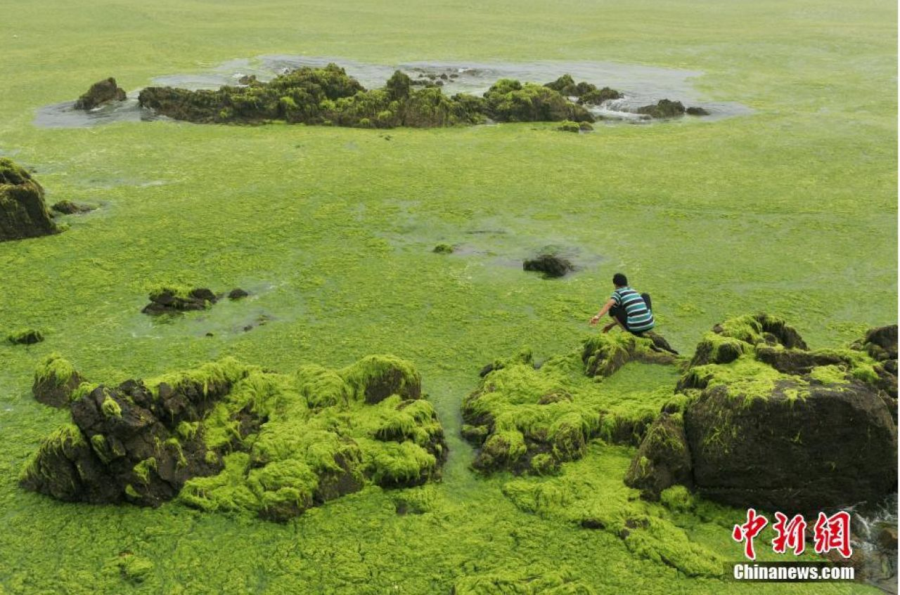 A photo of a man inspecting the sea grass that swept into a beach in Qingdao, Shandong Province.