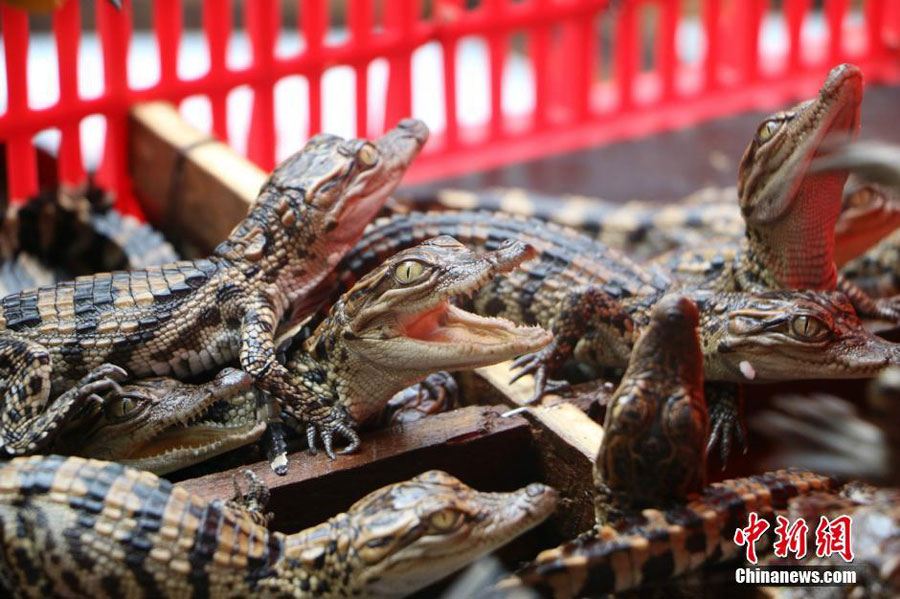 Nearly 400 baby crocodiles seized in south China