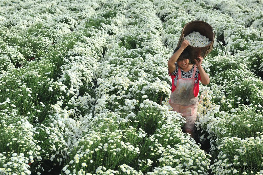 A farmer pleased with her bountiful harvest of white Chrysanthemum in Lin'an City, Zhejiang Province.
