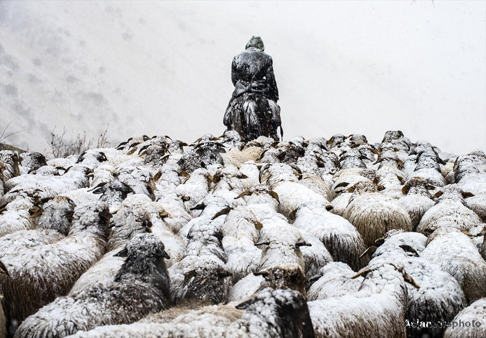 A Kazakh shepherds leads a flock of sheep along a snowy mountain road in Zhaosu County, Xinjiang Uyghur Autonomous Region.