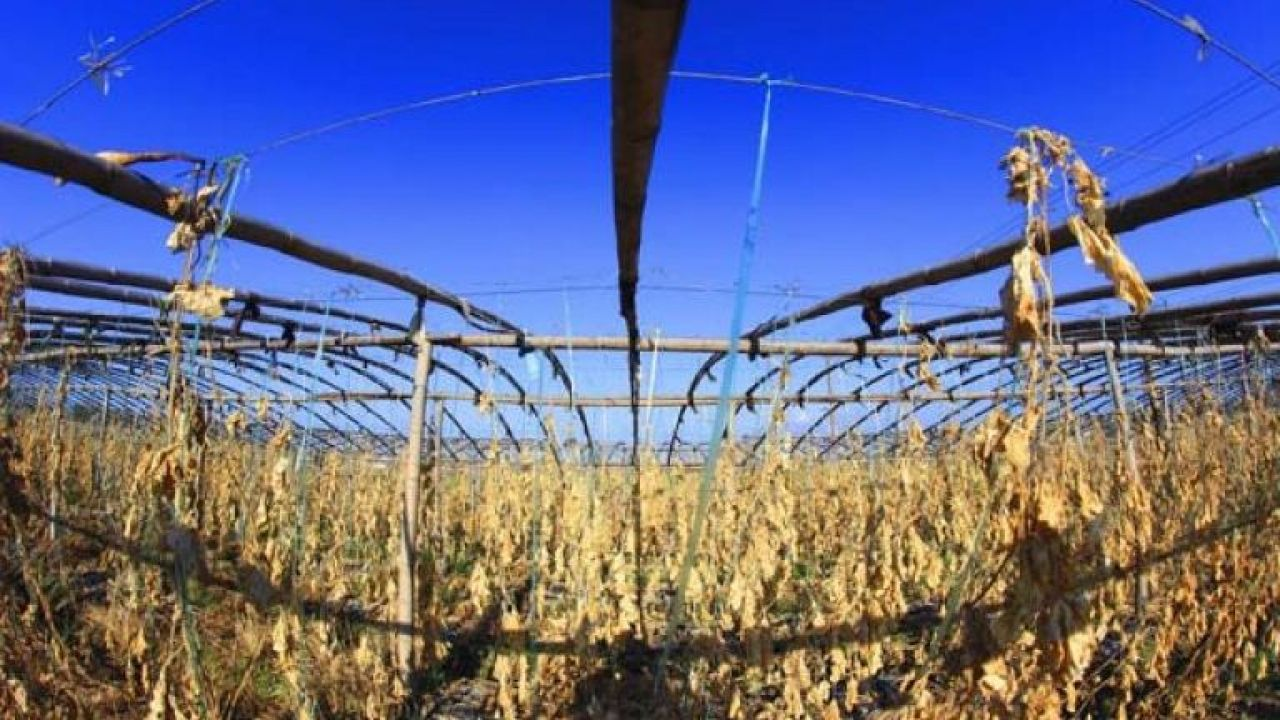 Chinese scientist working to increase rice yield