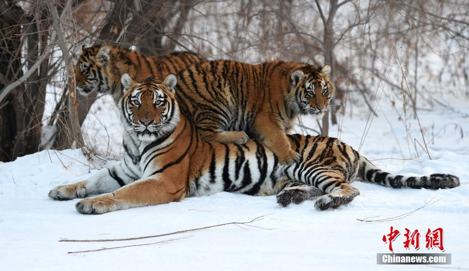 A group of Siberian tigers in the Siberian Tiger Park north of Harbin city, Heilongjiang Province.