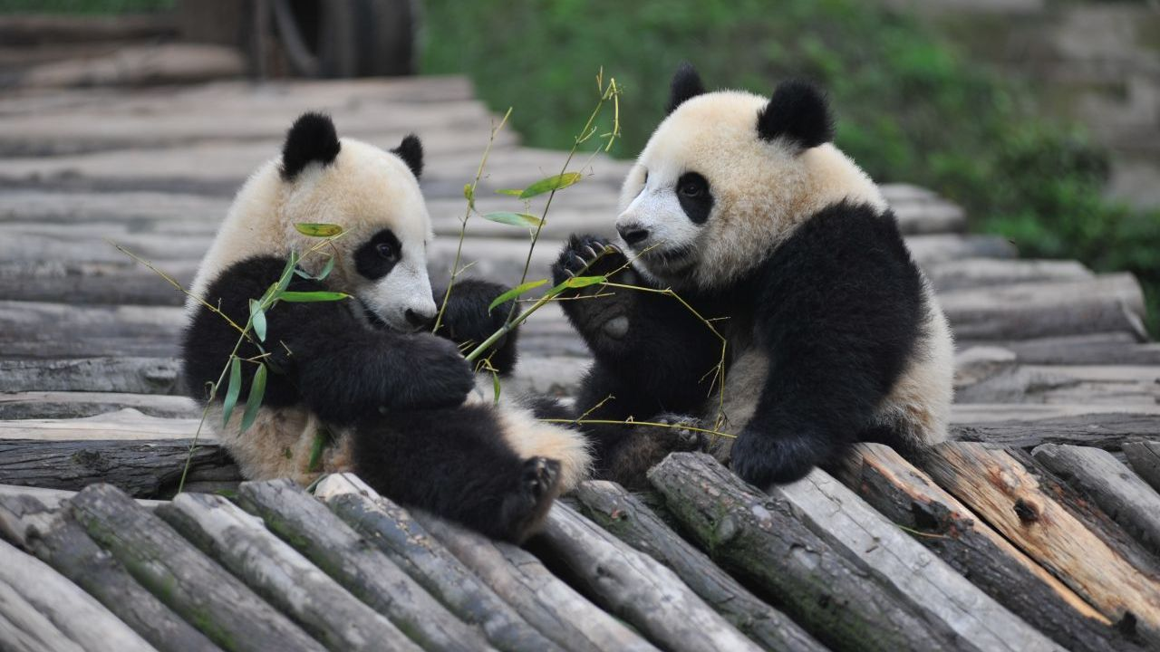 ​Finland to receive two giant pandas from China