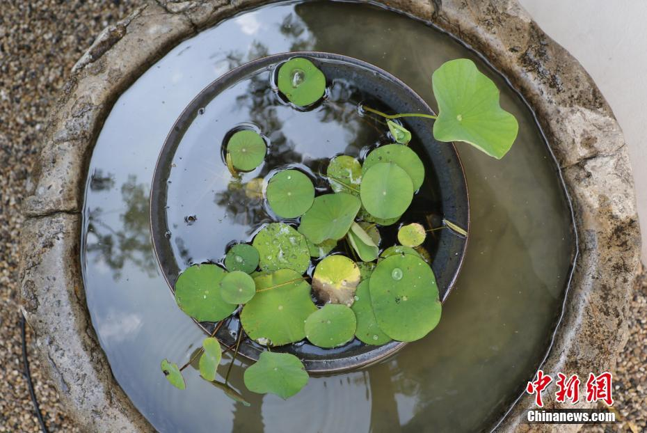 Chinese doctor grows leaves from 1,000-year-old seeds