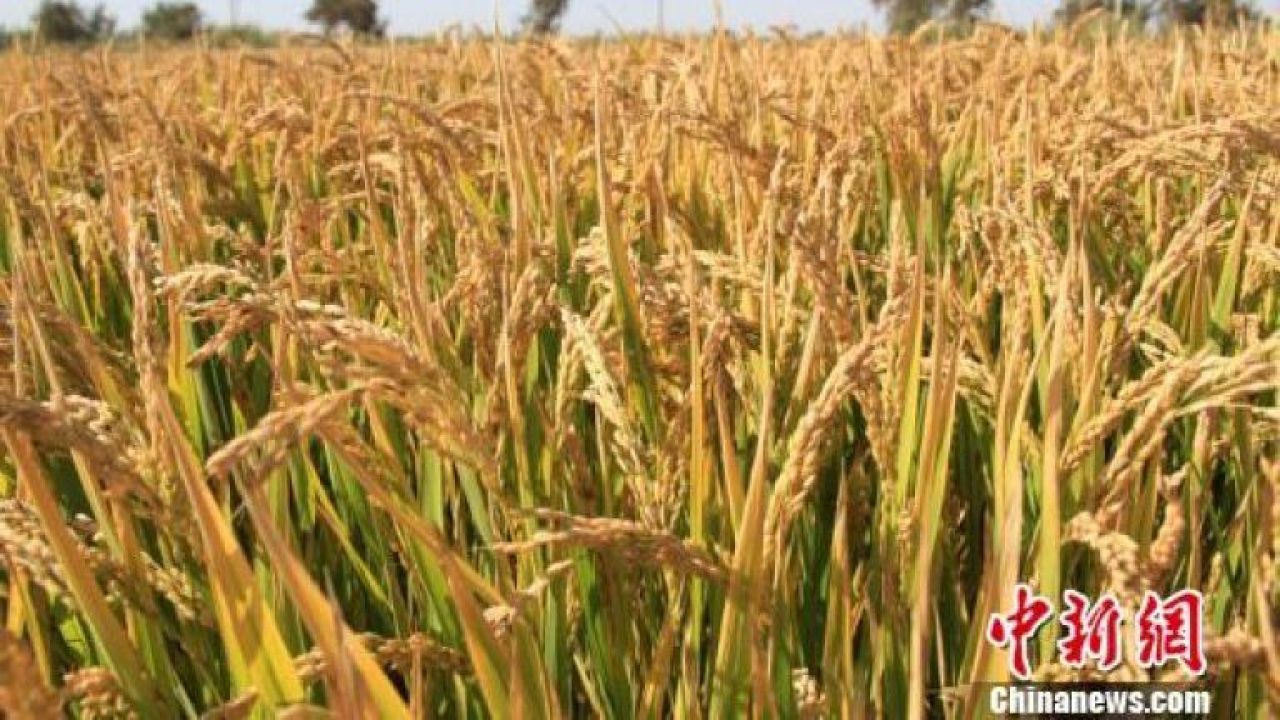 Sinograin lets 16,000 tons of wheat go to waste