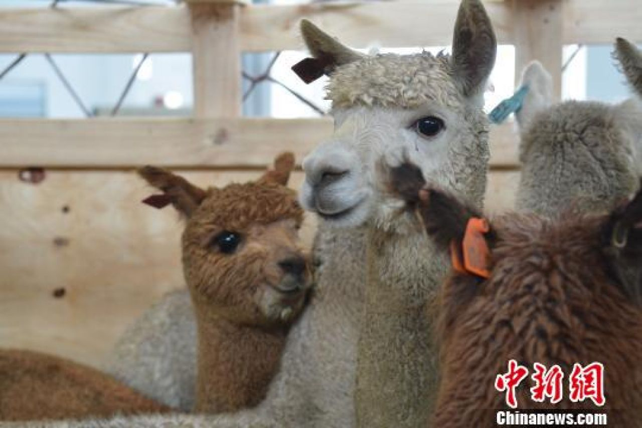 681 alpacas arrive in central China from Australia