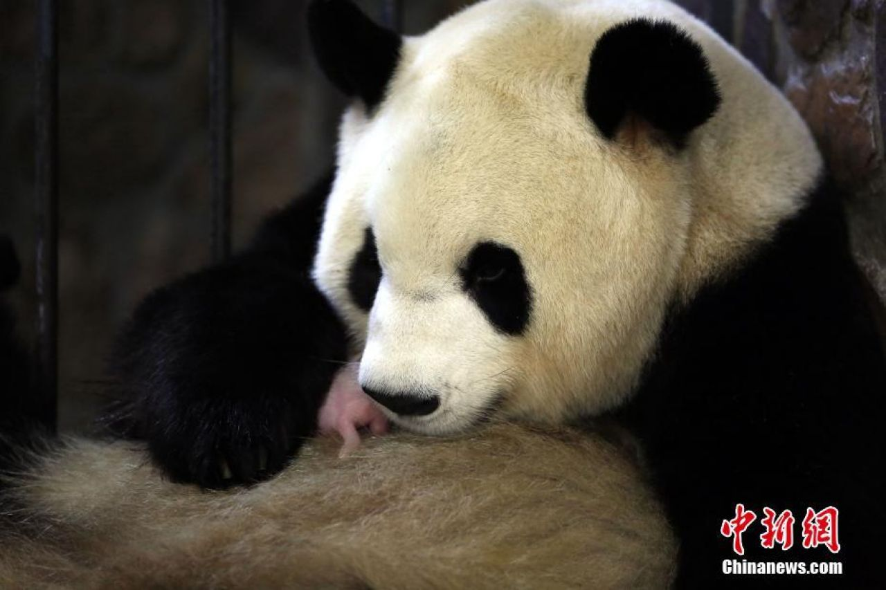 'Olympic' giant panda gives birth to male cub in SW China