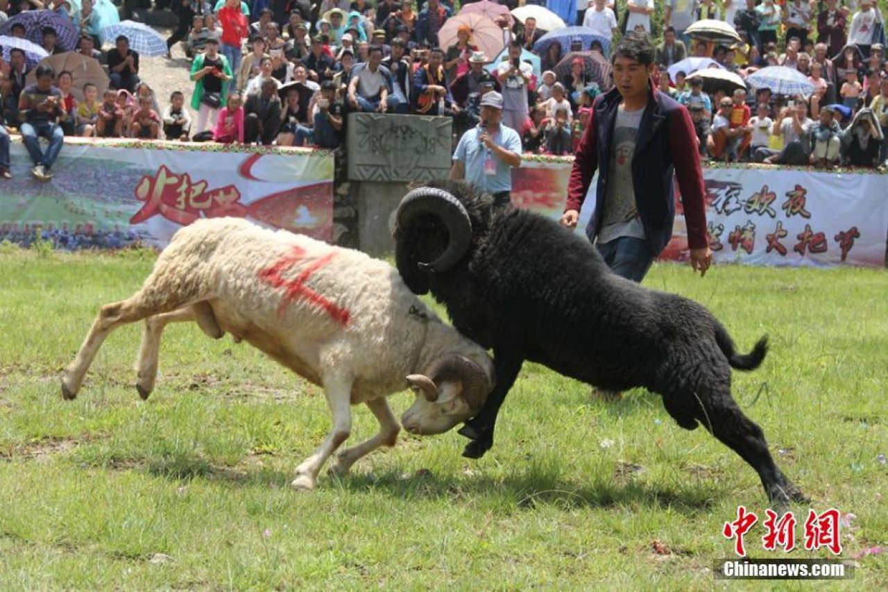 As well as goat fighting, locals have also recently enjoyed wrestling matches and a beauty contest as part of the Torch Festival celebrations.