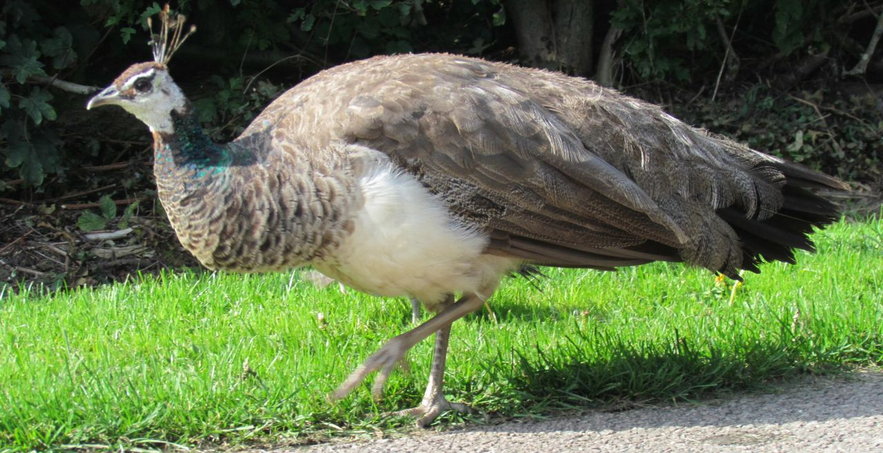 Thieves arrested for stealing peacocks to eat