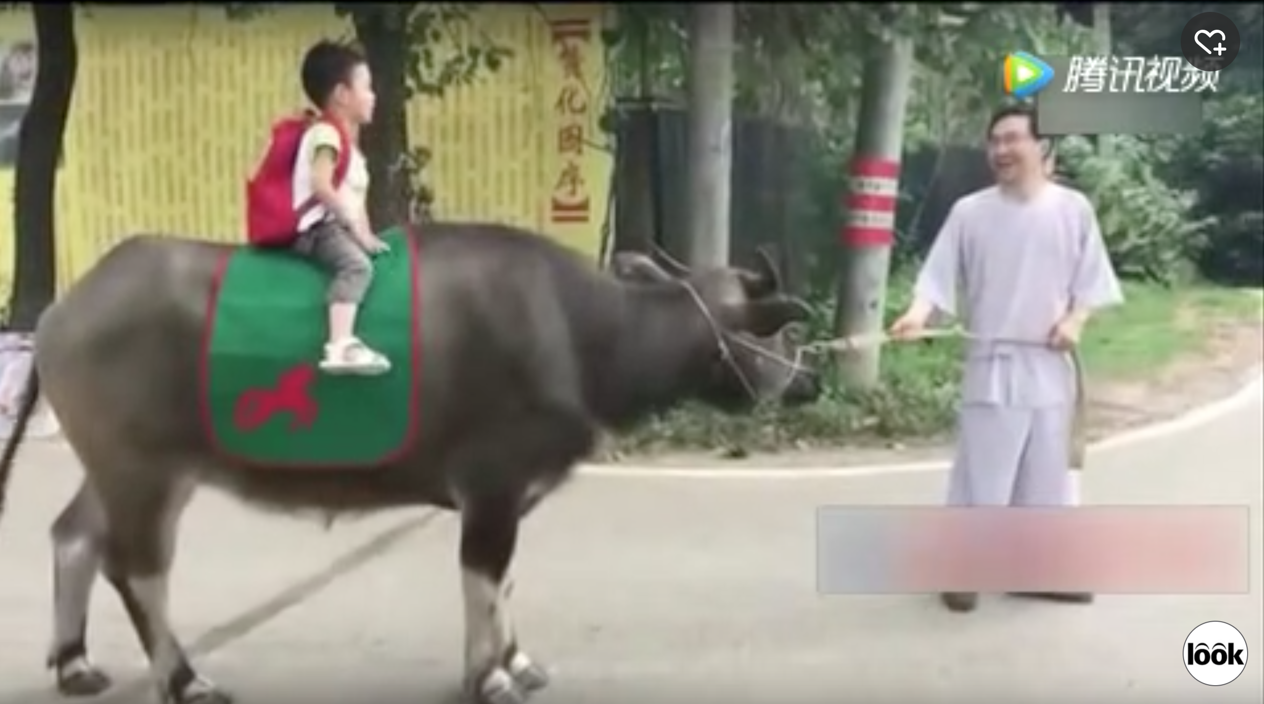 Chinese boy rides ox to preschool due to father obsessed with traditional culture