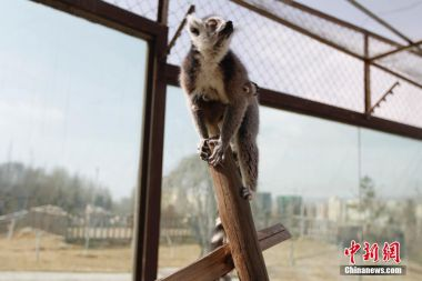 Rare ring-tailed lemur twins born in Qinghai Zoo