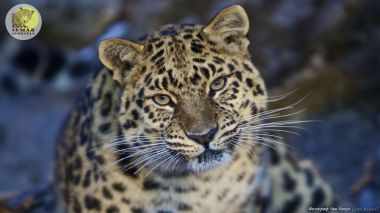 Russia and China protecting the endangered Amur leopard