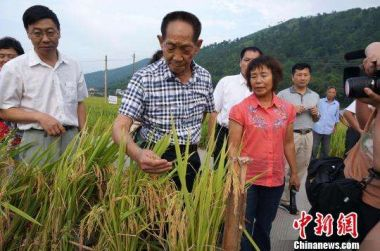 Chinese high-yield sea rice tests begin in bid to boost food production