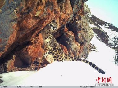 Snow leopards face major threats in China