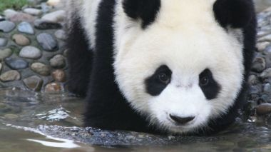 Scientists find that giant panda probably originated in Europe